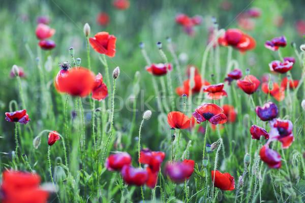 Red poppies field Stock photo © dashapetrenko