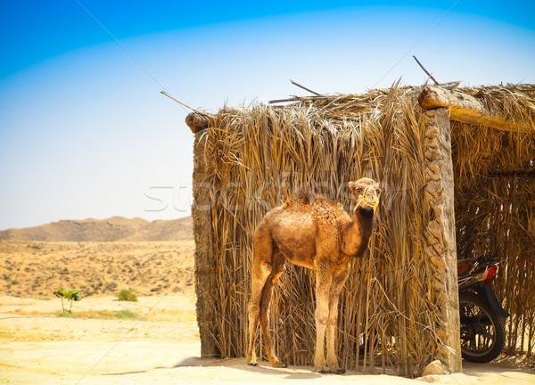 Baby arabian camel or Dromedary also called a one-humped camel i Stock photo © dashapetrenko