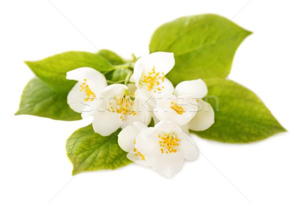 Jasmine white flowers Stock photo © dashapetrenko
