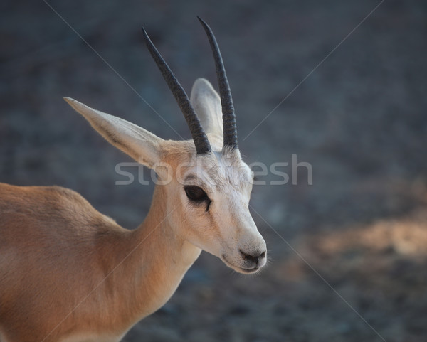 Gazelle. Arabian Wildlife in natural habitat Stock photo © dashapetrenko