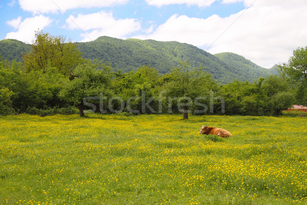 Stock photo: Brown Swiss Cow on the spring field