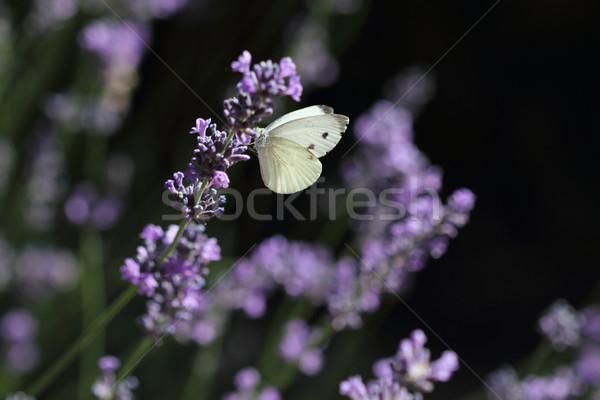 бабочка лаванды фото капуста белый Сток-фото © dashapetrenko
