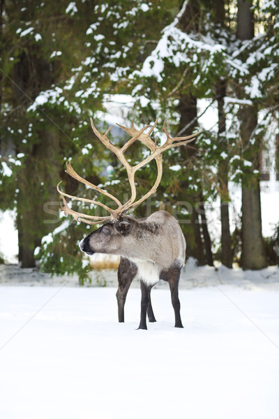 reindeer in its natural environment in scandinavia  Stock photo © dashapetrenko