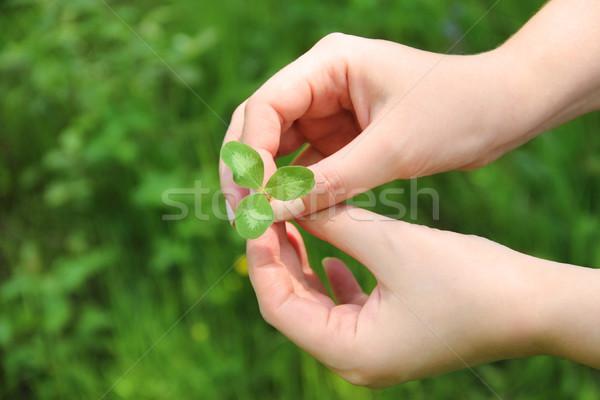 Clover in female hands Stock photo © dashapetrenko