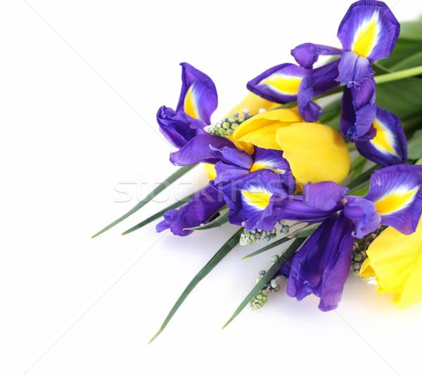 Beautiful dark purple iris flower, tulips and muscari  Stock photo © dashapetrenko