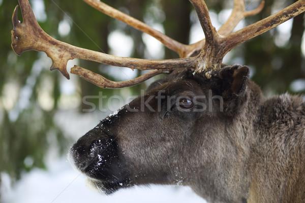 северный олень природного среде Скандинавия полярный Сток-фото © dashapetrenko
