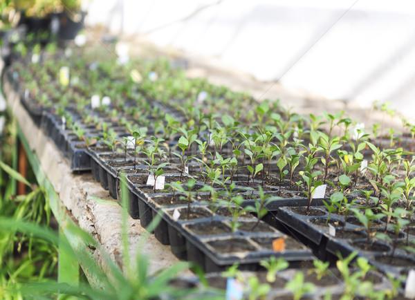 Invernadero flores plantas creciente hermosa botánico Foto stock © dashapetrenko