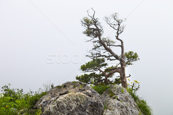 Lonely tree, Lagonaki, Caucasus, Russia Stock photo © dashapetrenko