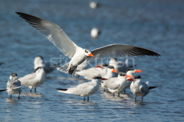 Caspian Tern (Sterna Caspia) landing by the flock Stock photo © davemontreuil