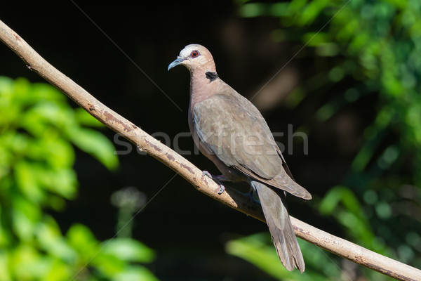 Red-eyed Dove Stock photo © davemontreuil