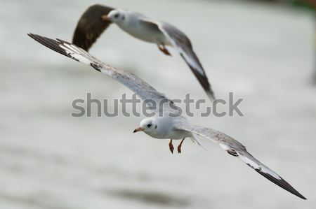 Young Grey-Headed Gull in flight Stock photo © davemontreuil