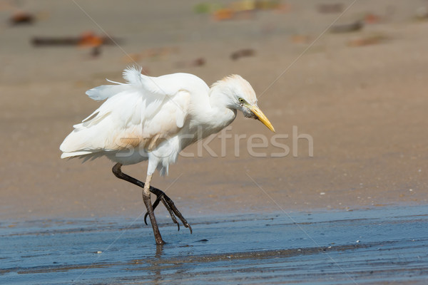Cattle Egret walking up the beach Stock photo © davemontreuil