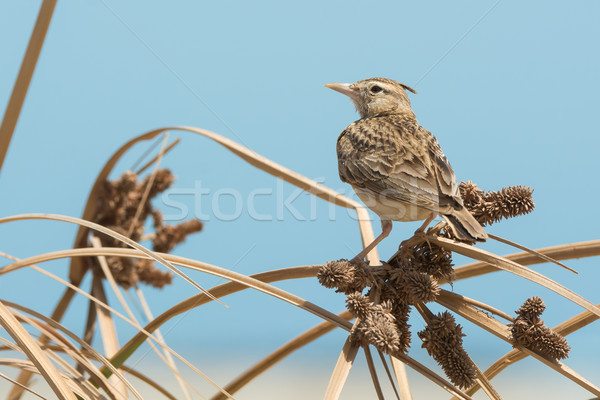 Crested Lark perched on dried grasses with seeds Stock photo © davemontreuil