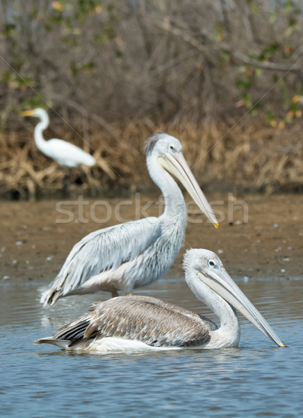 Two Pink-backed Pelicans in shallow water Stock photo © davemontreuil