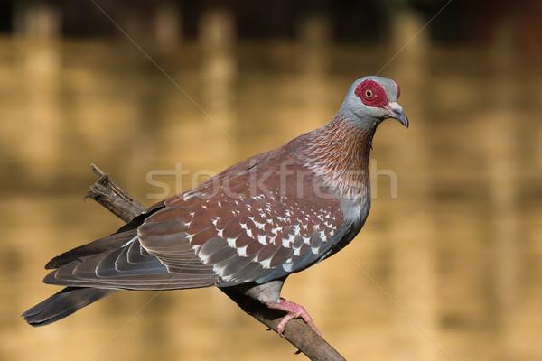 Güvercin Gine şube Afrika profil güzel Stok fotoğraf © davemontreuil