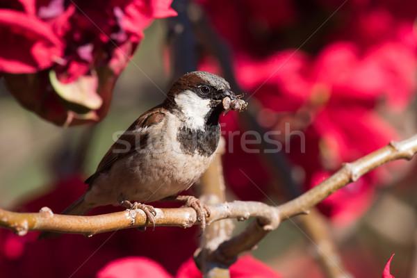 Casa pardal flores comida natureza Foto stock © davemontreuil