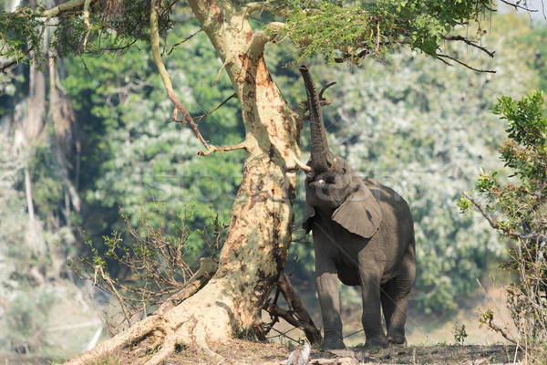 Afrikaanse olifant bladeren koorts boom afrika olifant Stockfoto © davemontreuil