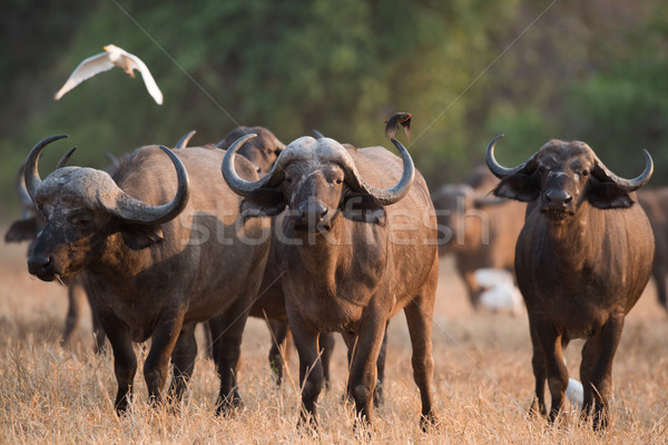 Cape buffalo (Syncerus caffer) standing in a field of dried gras Stock photo © davemontreuil