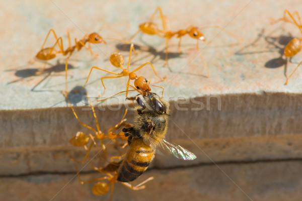 Fourmis abeille maison groupe Afrique Photo stock © davemontreuil