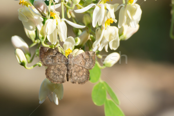 Grey Elfin butterfly with moringa blossoms Stock photo © davemontreuil