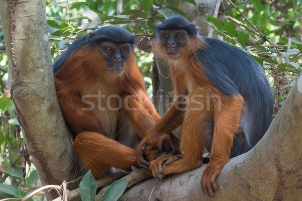 западной красный обезьяны пару , держась за руки мужчины Сток-фото © davemontreuil