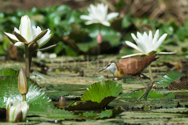 Young African Jacana standing amongst lily pads and flowers Stock photo © davemontreuil
