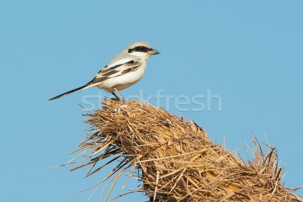 южный серый Top хижина птица Африка Сток-фото © davemontreuil