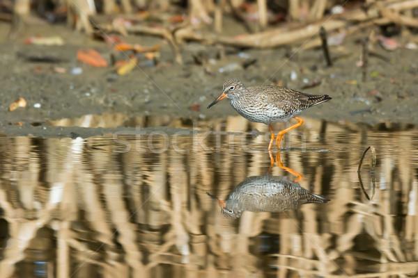 Common Redshank (Tringa totanus) wading through the mangroves Stock photo © davemontreuil