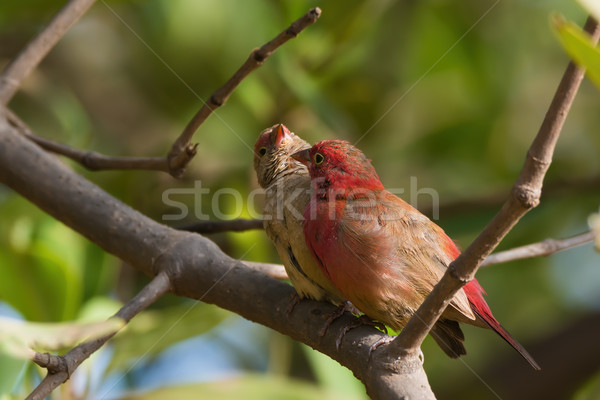 A Female Red-billed Firefinch (Lagonosticta senegala) inviting a Stock photo © davemontreuil