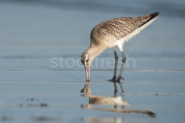 Stock photo: Bar-tailed Godwit (Limosa lapponica) probing the sand for worms