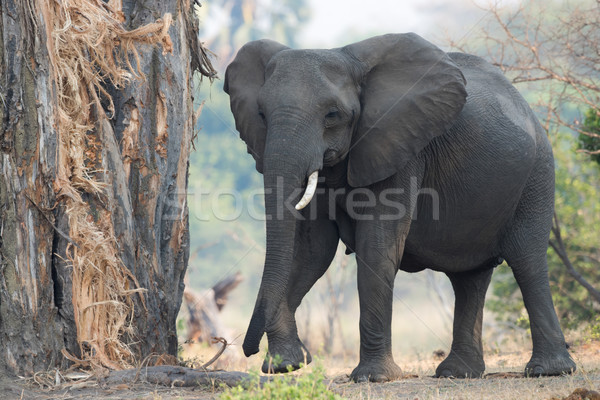 A female African Elephant with one tusk returning to eat the bar Stock photo © davemontreuil