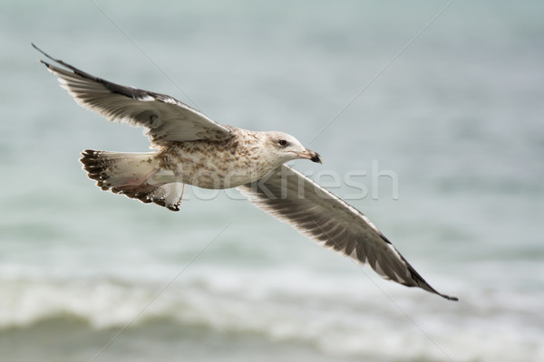 Kelp Gull soaring over the waves Stock photo © davemontreuil