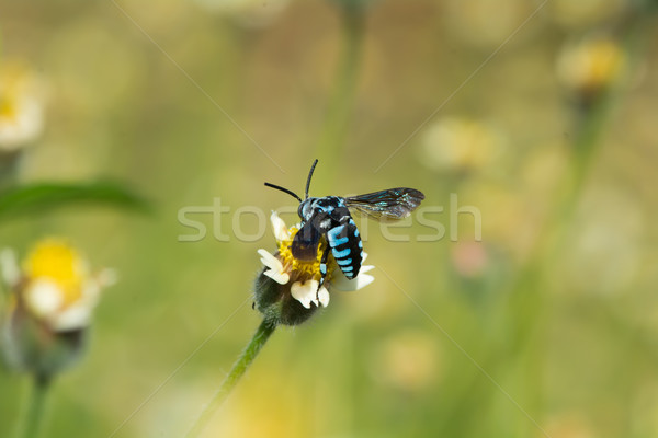 Blue Cleptoparasite bee on a small flower Stock photo © davemontreuil