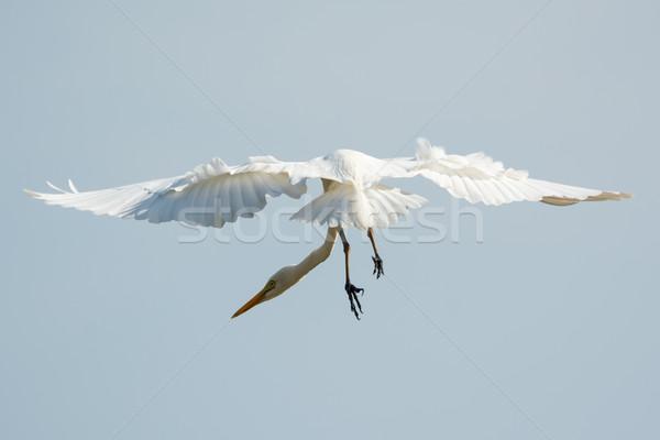Oneven groot witte vlucht nek Stockfoto © davemontreuil
