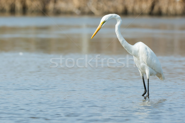 Great White Egret searching for fish Stock photo © davemontreuil