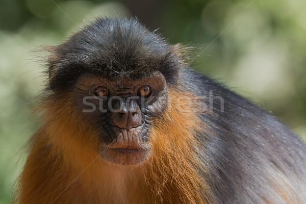 Portré western piros majom állat környezet Stock fotó © davemontreuil