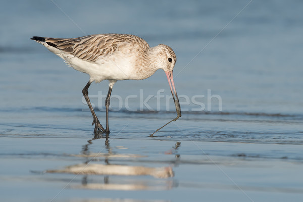 Bar-tailed Godwit (Limosa lapponica) pulling a worm out of the s Stock photo © davemontreuil