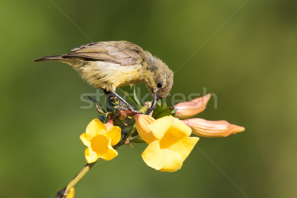 Olive sunbird (Cyanomitra olivacea) drinking nectar from a pierc Stock photo © davemontreuil