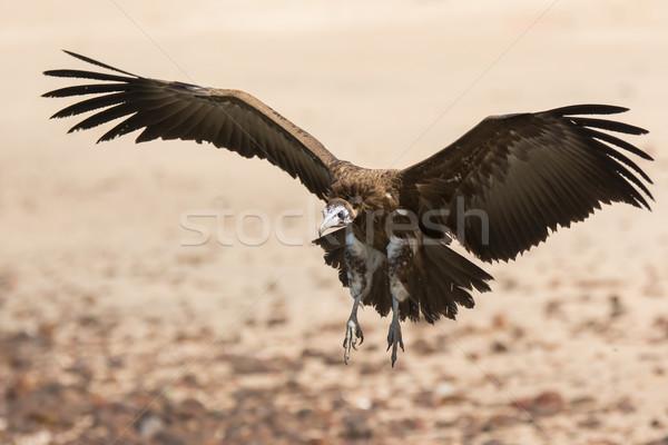 Hooded Vulture (Necrosyrtes manachus)  landing Stock photo © davemontreuil