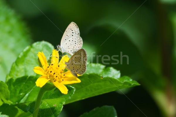 Zwei african Gras blau Schmetterlinge gelbe Blume Stock foto © davemontreuil