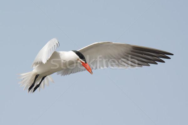 Caspian Tern hovering in flight Stock photo © davemontreuil