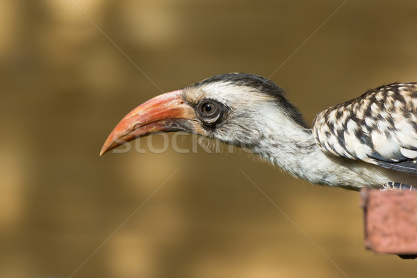 Western Red-Billed Hornbill sticking its neck out Stock photo © davemontreuil
