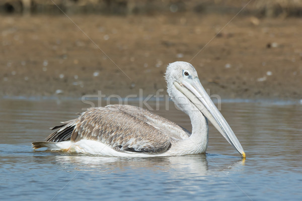 Pink-backed Pelican floating slowly by Stock photo © davemontreuil