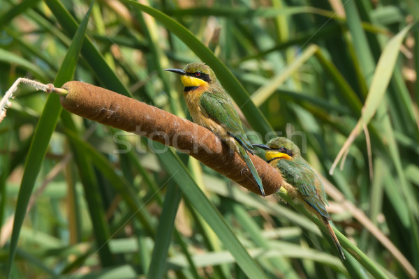 Little Bee-Eaters perched on a cattail Stock photo © davemontreuil