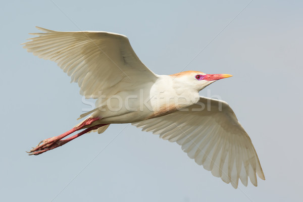A Cattle Egret (Bubulcus ibis) with breeding plumage in flight Stock photo © davemontreuil