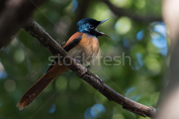 Feminino africano algo pássaro vermelho falante Foto stock © davemontreuil