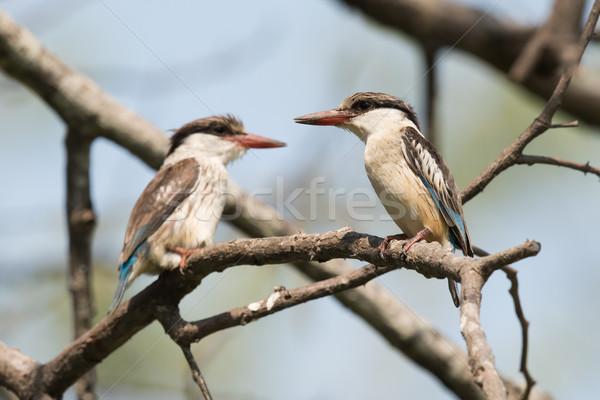 полосатый зимородок пару филиала пару Африка Сток-фото © davemontreuil