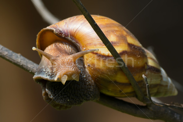 Giant West African Land Snail Stock photo © davemontreuil