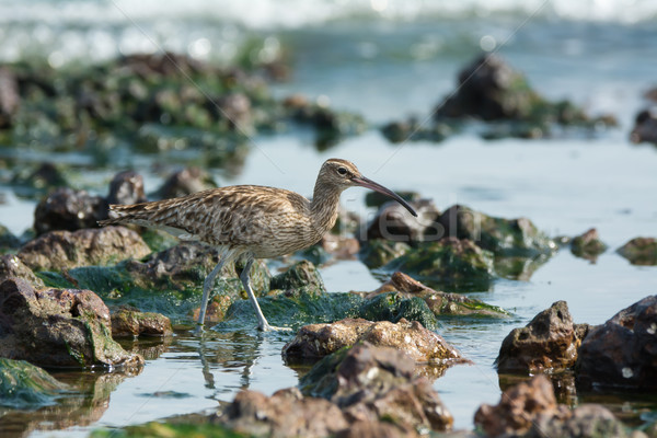 Whimbrel in a tidal pool Stock photo © davemontreuil