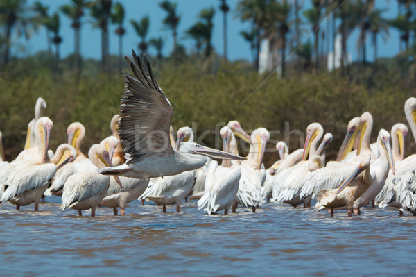 Pink-backed Pelican soars past a squadron of preening White-Back Stock photo © davemontreuil